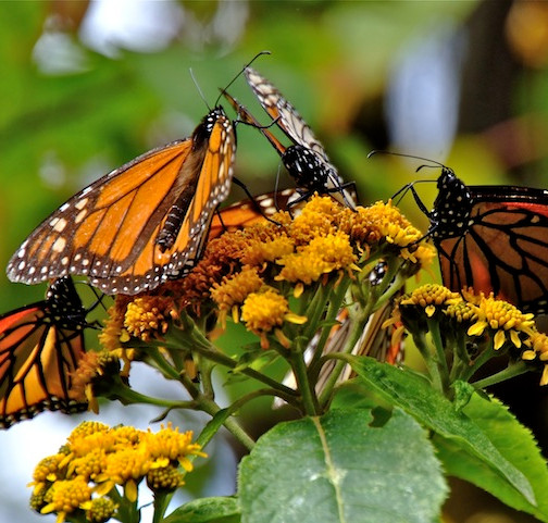 Mexico, Monarca Mariposa (4)