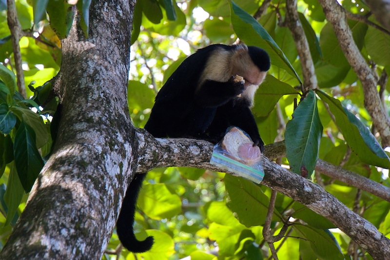 Costa Rica, Cahuita National Park; White-headed Capucin (3)
