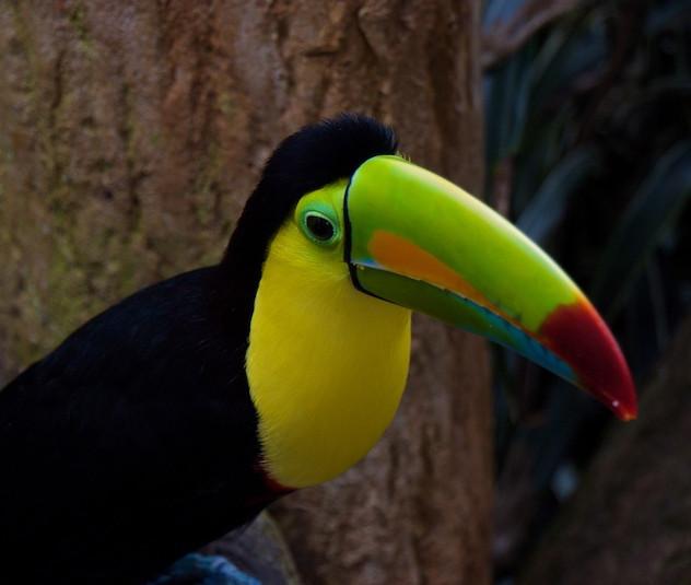 Costa Rica, La Paz Waterfall Gardens: Rainbow Toucan