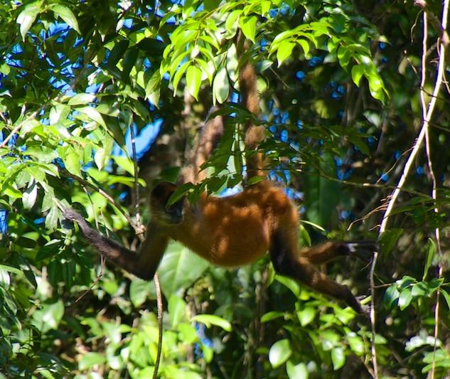 Costa Rica, Tortuguero NP; Spider monkey