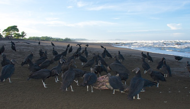 Costa Rica, Ostinal ; Birds eat remainings of dead Turtles