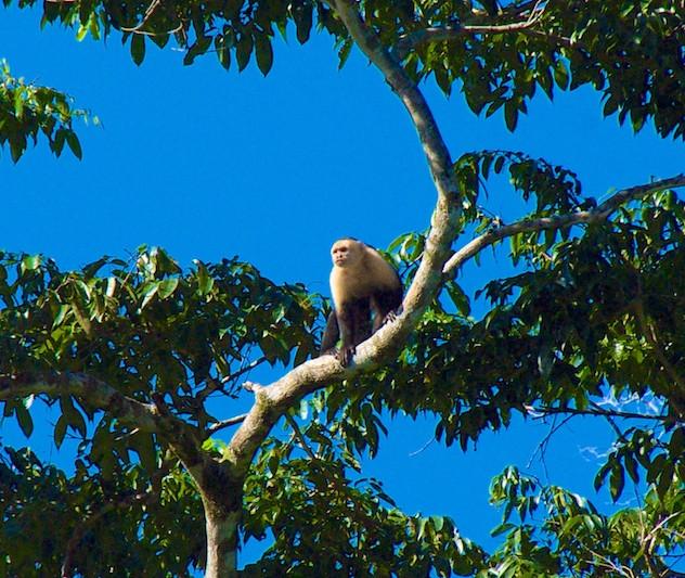 Costa Rica, Tortuguero NP; White-headed Capucin monkey (1)