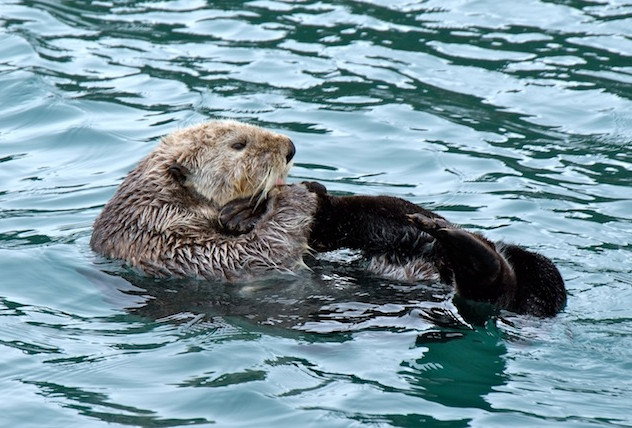 Alaska, Peters Bay; Sea Otter (2)
