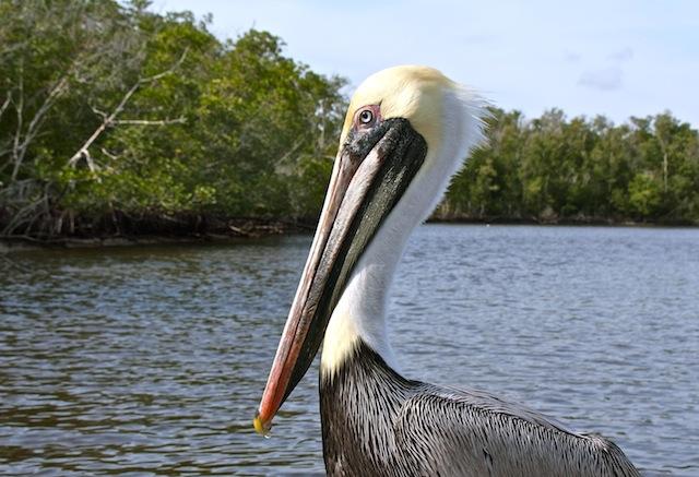 The Keys, Pelican
