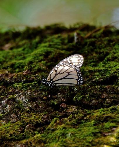 Mexico, Monarca Mariposa (3)