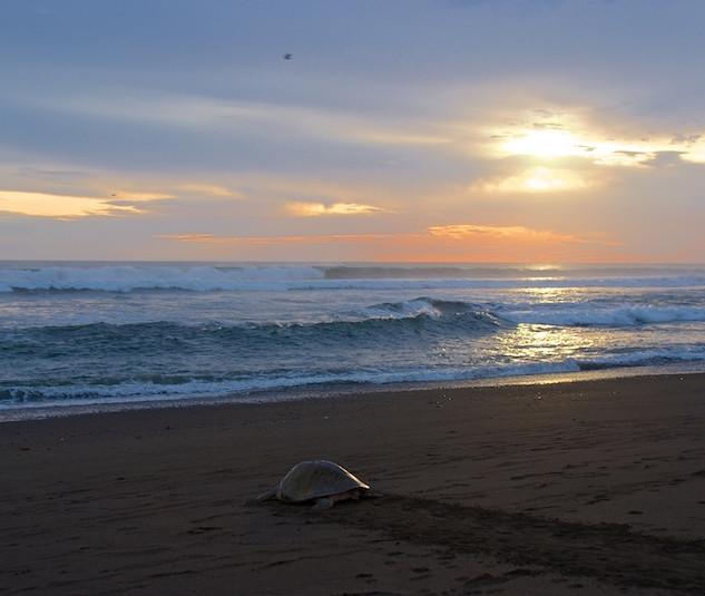 Costa Rica, Ostinal ; Olive Ridley Sea Turtle (1)