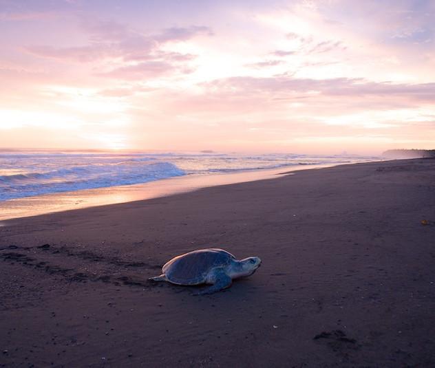 Costa Rica, Ostinal ; Olive Ridley Sea Turtle (4)