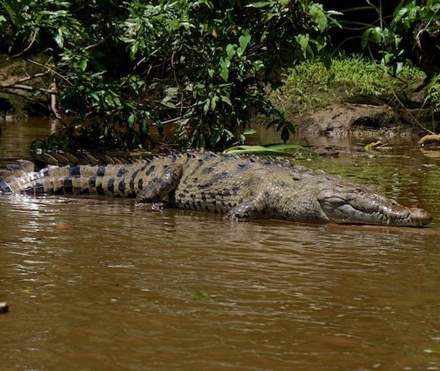 Costa Rica, Tortuguero NP: Caiman or Crocodile?