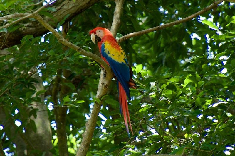 Honduras, Copan Ruines ; Macaw's (3)