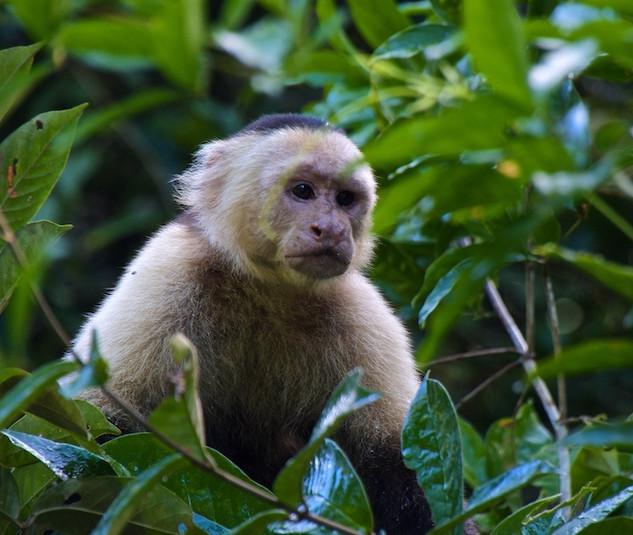 Costa Rica, Tortuguero NP; White-headed Capucin monkey (2)