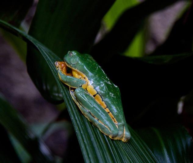 Costa Rica, La Paz Waterfall Gardens: Frog (1)