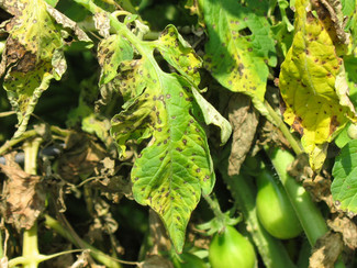 What is tomato blight and how do I prevent it?