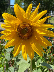 Sunflower5.jpg