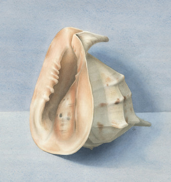 'Conch Shell'
