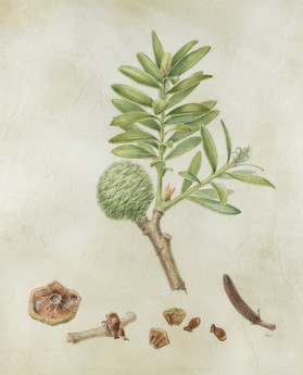 'Agathis australis'