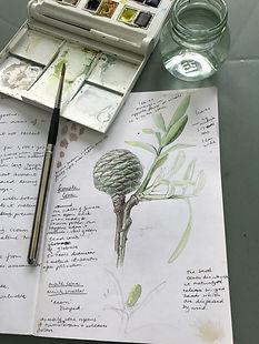 Preparatory work for botanical illustration of Agathis australis, Kauri