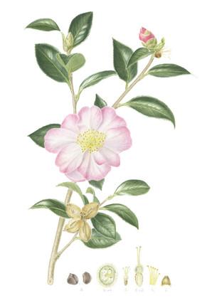 Camellia x sasanqua 'Gay-Border'