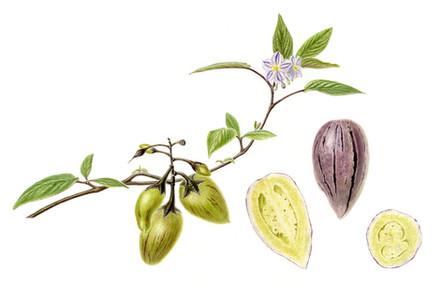 Solanum muricatum 'Incredible Ruby'