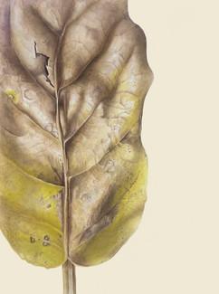 Puka Leaf #1