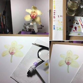 work in progress of botanical painting of pale yellow Phalaenopsis or Moth Orchid