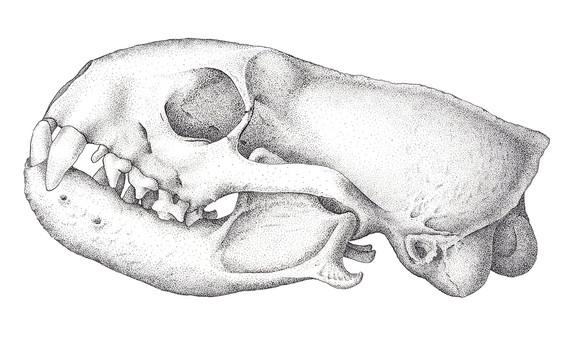 'Mongoose Skull'