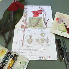 nature journaling - canna lily