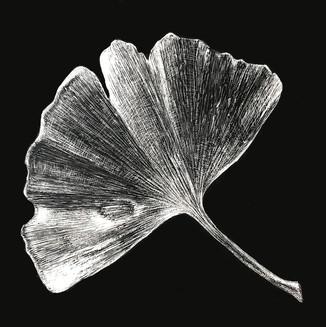 'Ginkgo bilbao Leaf'