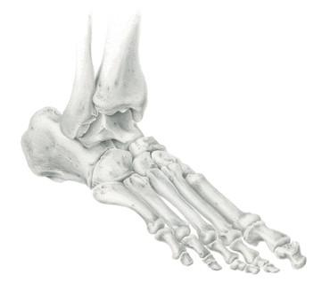 Study of Bones of the Foot