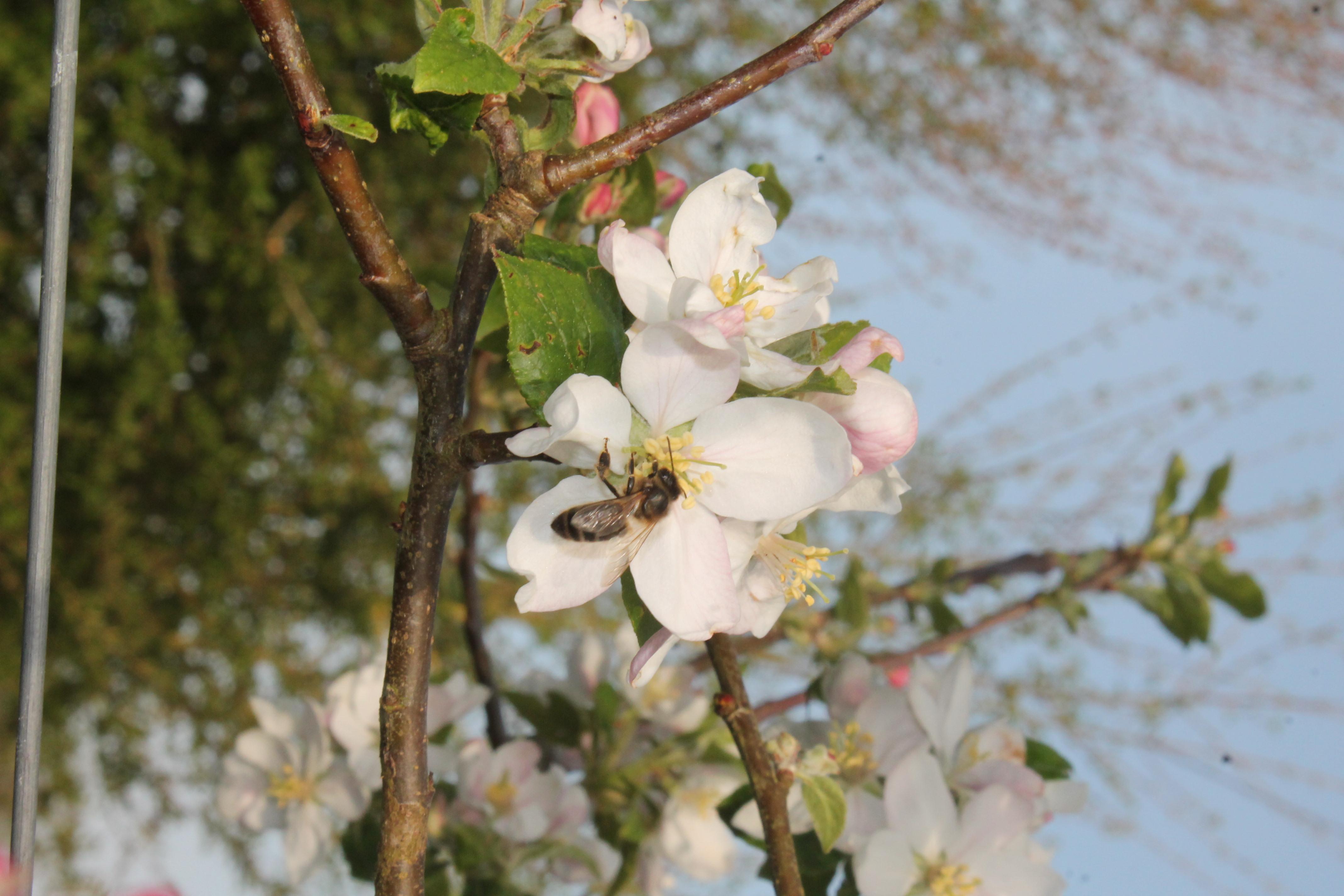 Abeille noire sur fleur de pommier