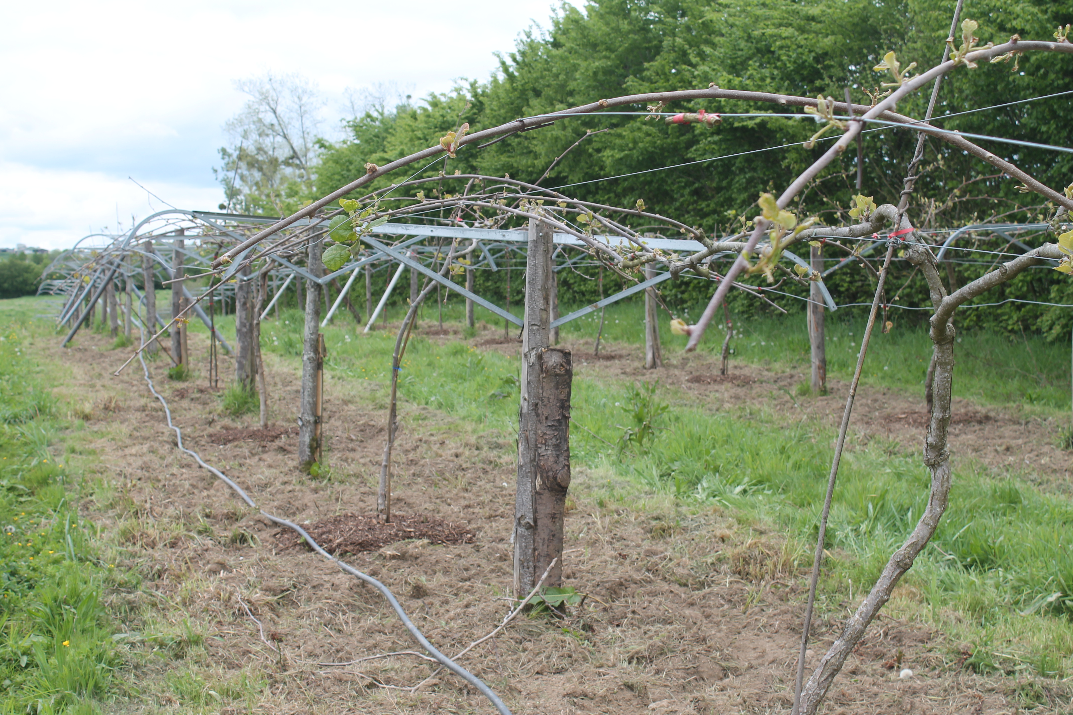 La plantation de kiwis