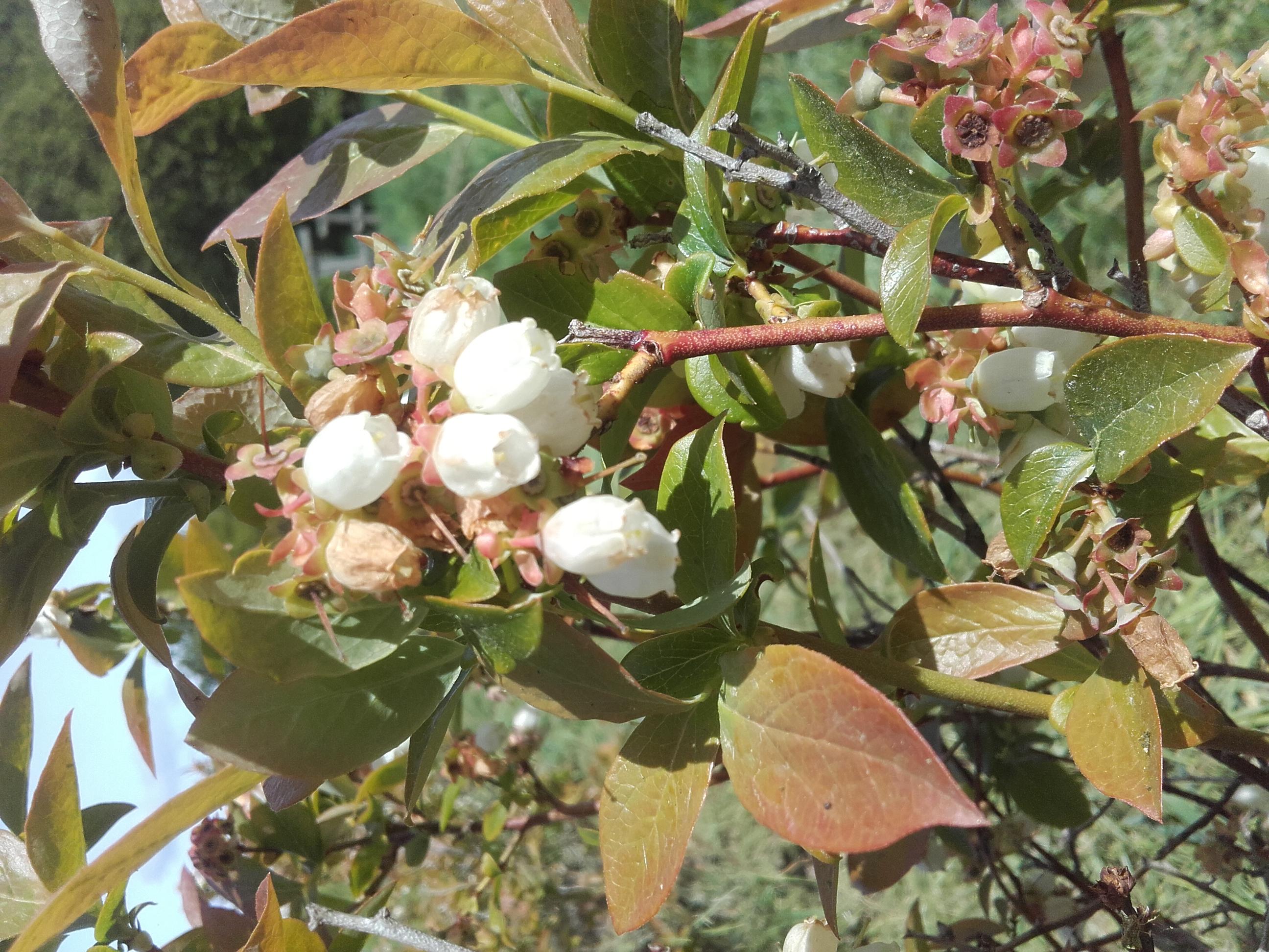 Myrtilliers en fleurs