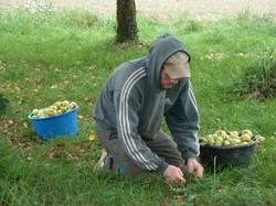 Récolte manuelle des pommes