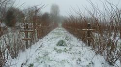 Framboisiers sous la neige