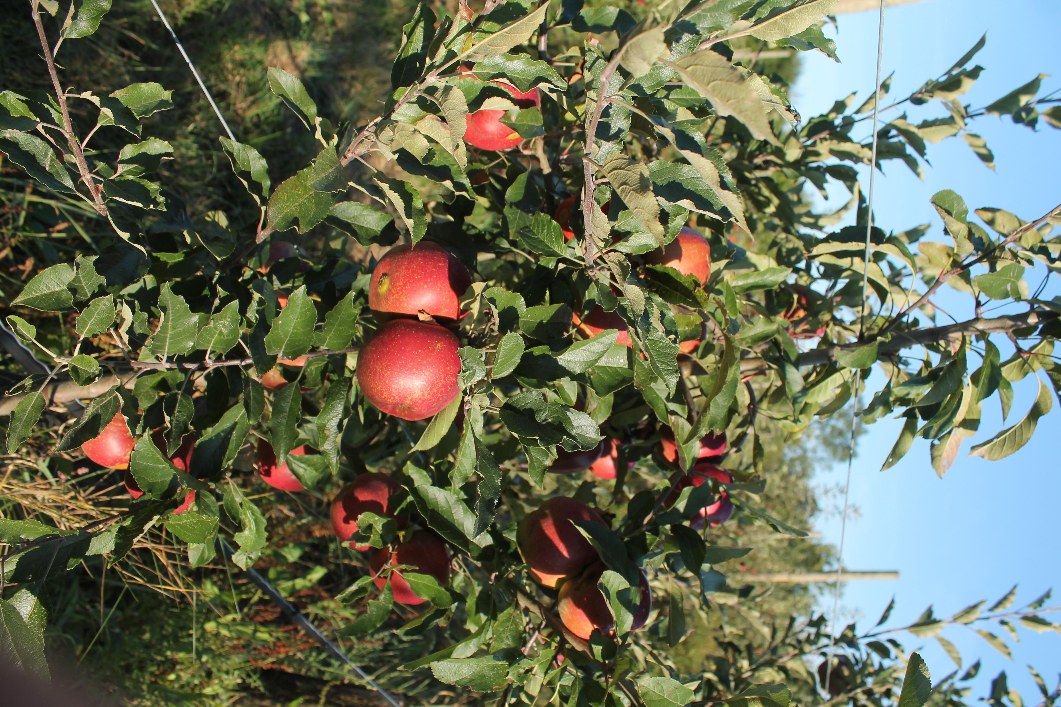 Les premières pommes en 2018