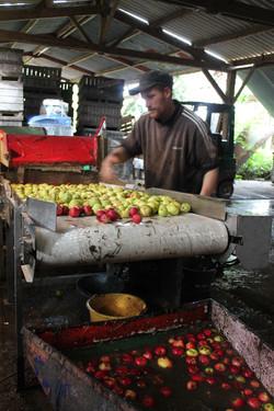Tri et lavage des pommes
