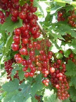 Groseilles à grappes rouges