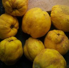 autumn ripe quinces