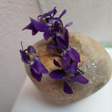 violets hollow stone