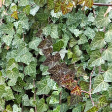 spring ivy stone wall