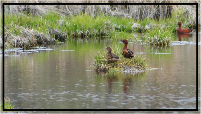 Duckin' Around with Wetland Restoration