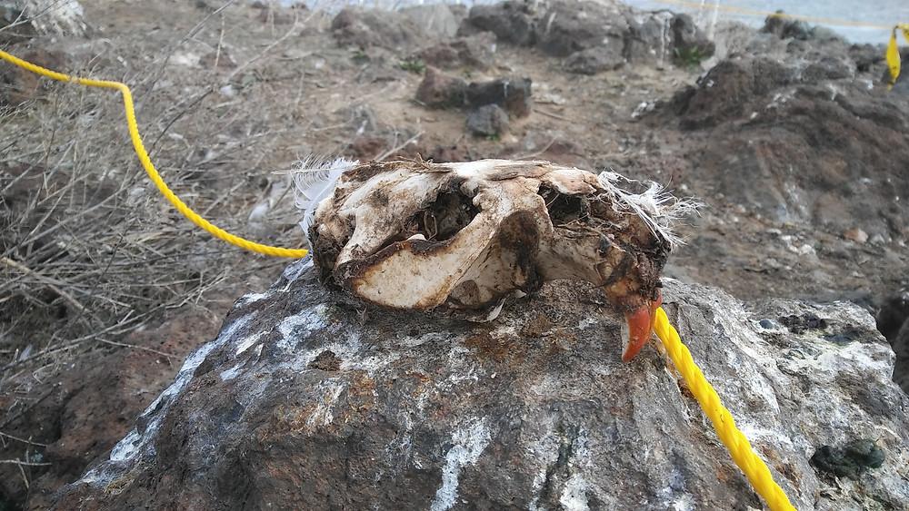 Figure 1: Beaver skull on Goose Island.
