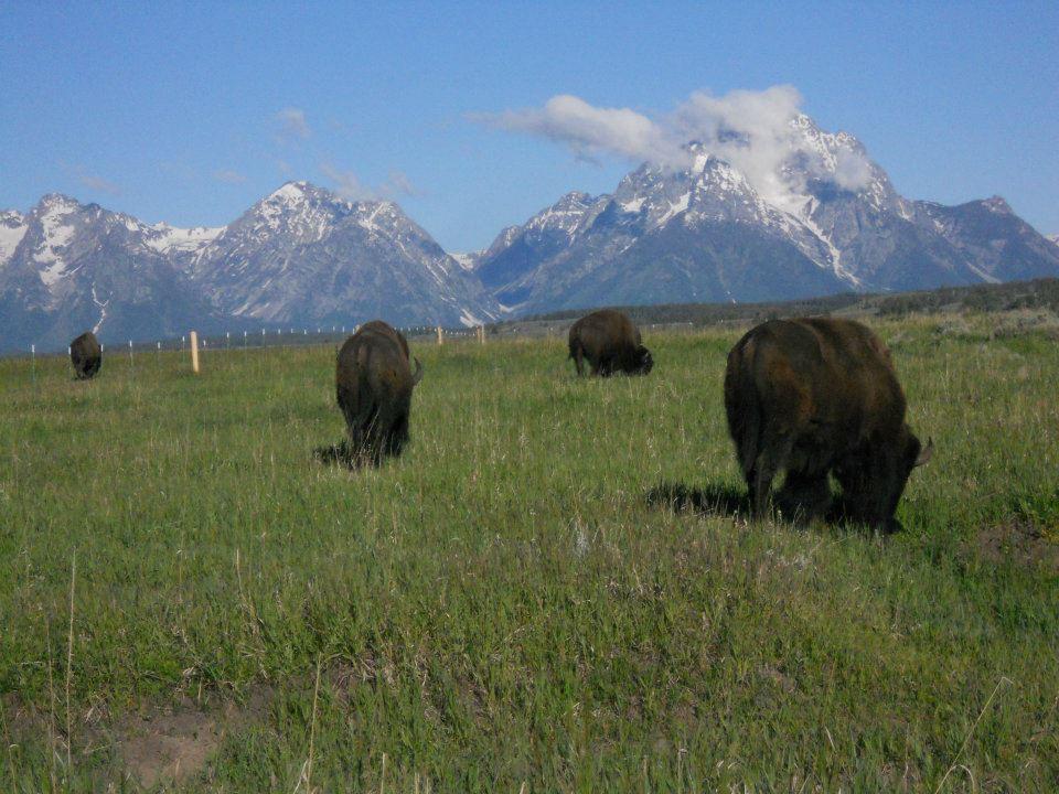 Figure 1: Bison grazing in Grand Teton National Park. 2012.