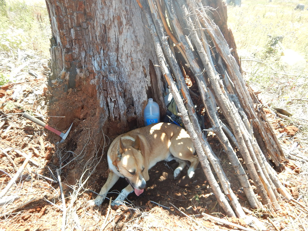 Figure 3: Dog, Osyris, taking a break in the shady lean-to I made from clear-cut litter at the dig site.