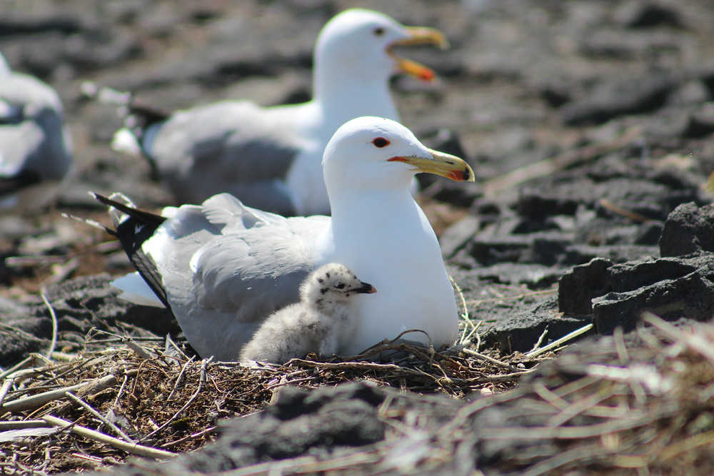 Figure 3: Photo credit Bristol Underwood; California gull nest with adult and chick.
