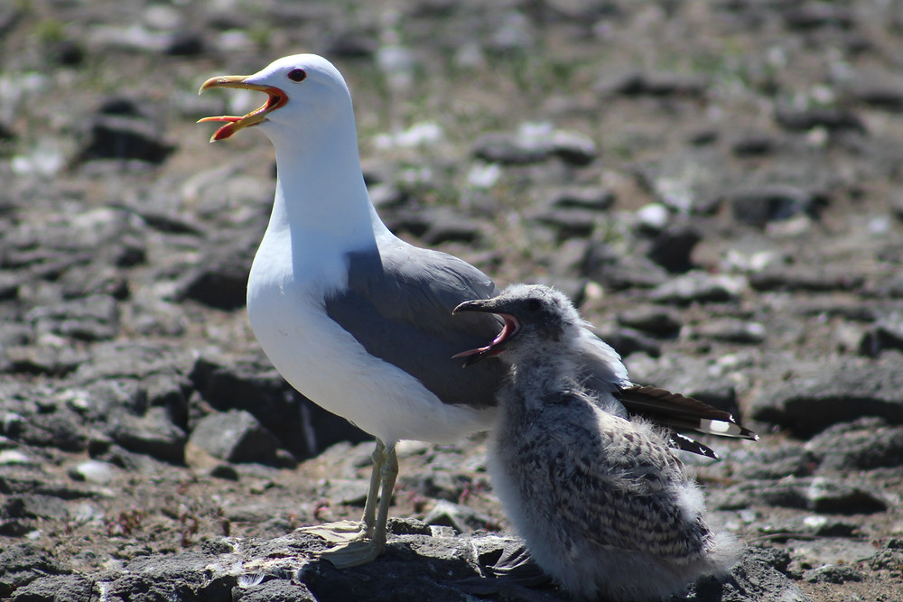 Figure 5: Adult and juvenile California gull (Larus californicus). Photo credit to Bristol Underwood.