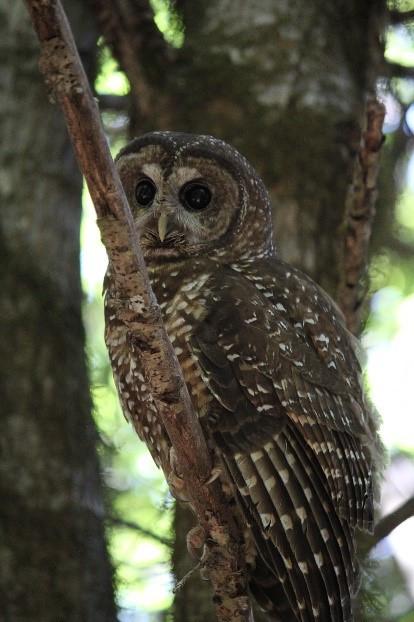 Figure 2: Owl; Arin Underwood.