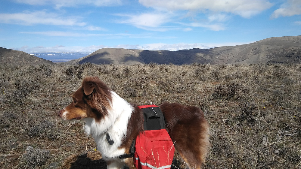 Figure 6: My rockhound, Zen, with a backpack full of petrified wood.