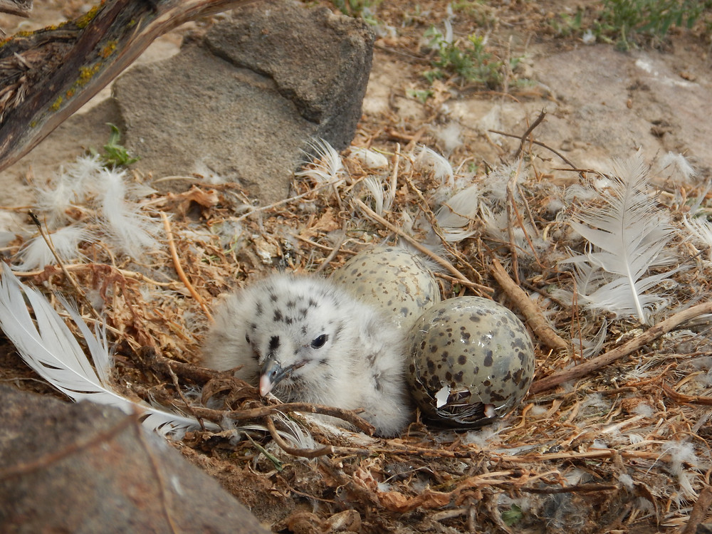 Figure 4: Ring-billed (Larus delawernsis) gull chick in nest.