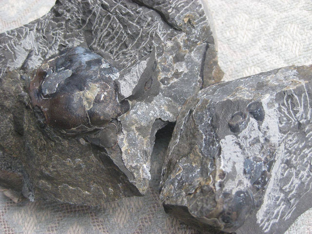 """Figure 7: Photo Credit- Bruce Thiel. """"Inside these pieces lies a large fossil crab given to me by [name omitted] who found it on the Washington coast."""""""