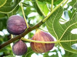 Fig Tree2
